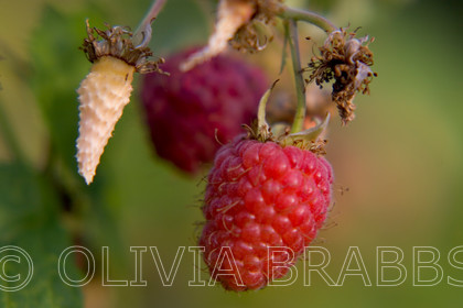 rasberry 